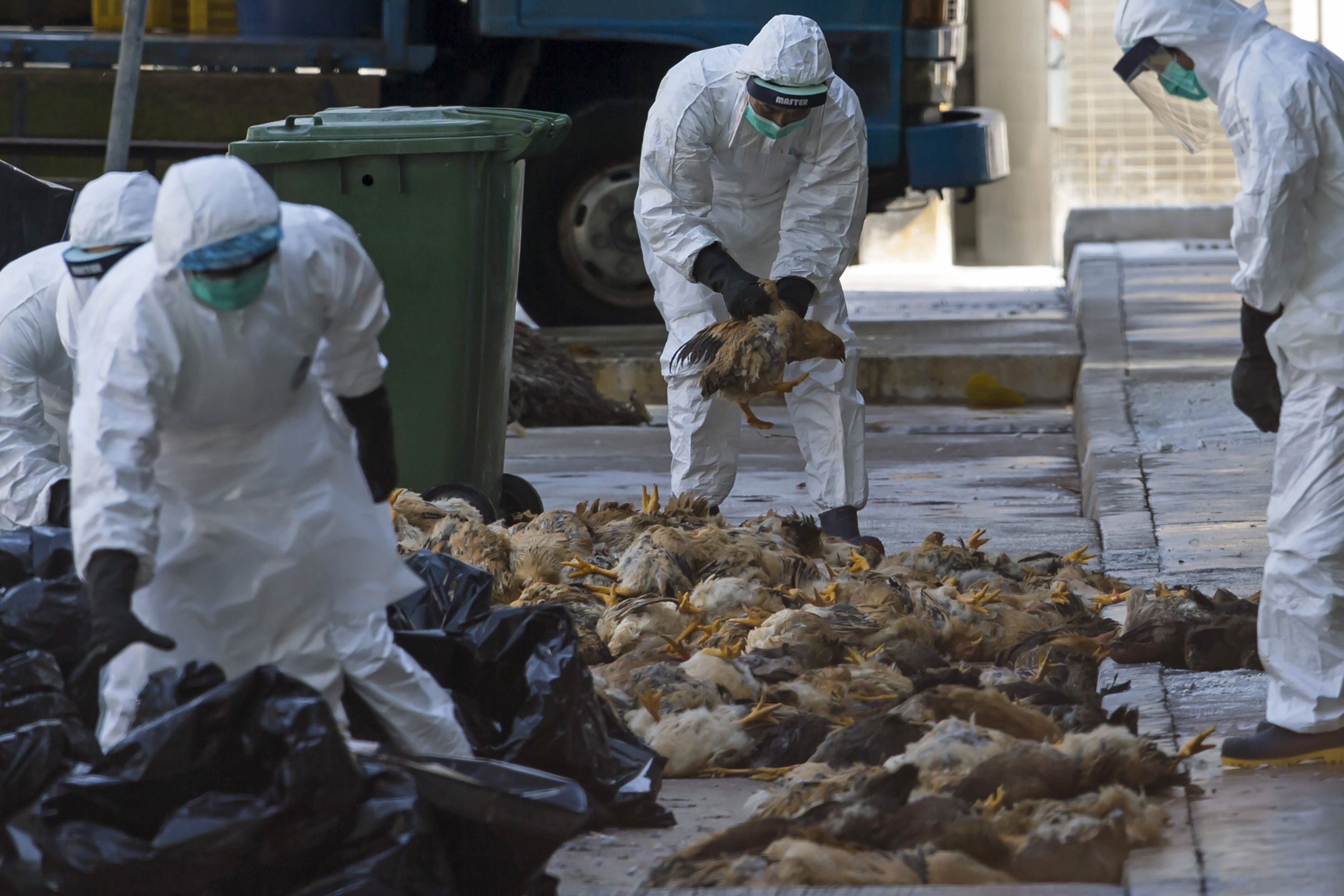 Health workers pack dead chickens into trash bins at a wholesale poultry market in Hong Kong December 31, 2014. Hong Kong began culling 15,000 chickens on Wednesday and suspended imports of live poultry from mainland China for 21 days after the H7 bird flu strain was discovered in a batch of live chickens that came from the southern province of Guangdong. REUTERS/Tyrone Siu (CHINA - Tags: HEALTH AGRICULTURE ANIMALS FOOD POLITICS)