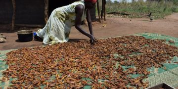 A lady dries locusts. COURTESY PHOTO.
